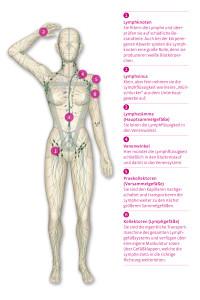 das-Lymphgefäßsystem-des-Menschen