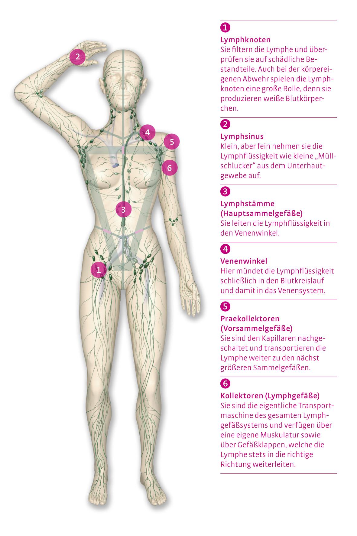 Das Lymphgefäßsystem -